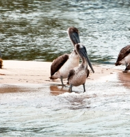 MonkeyRiverPelicans