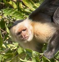 capuchine-RioFrio-01