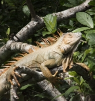 iguanaOrange-RioFrio