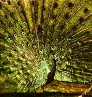 peacockGold72