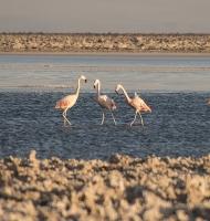flamingos13x10-2