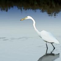 egret-reflection