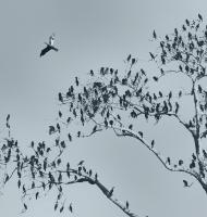 cormoranttree