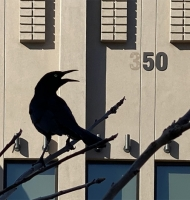 blackbird350