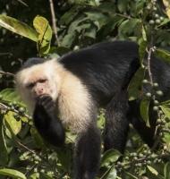 capuchine-RioFrio-02