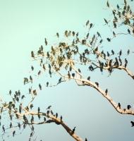 cormoranttree2