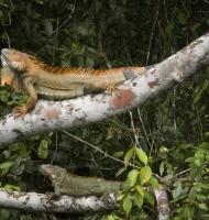 iguanaPair