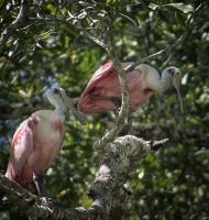 roseateSpoonbills