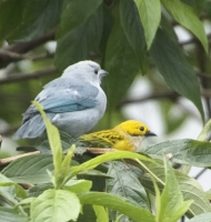tanagers2